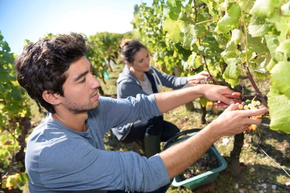Michael Jesus - Young people picking grape during harvest season