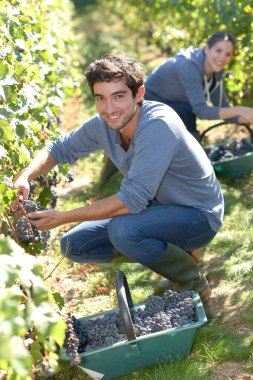 Young man harvester working in vineyard
