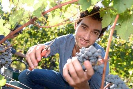 Young man cutting bunch of grape in vineyard